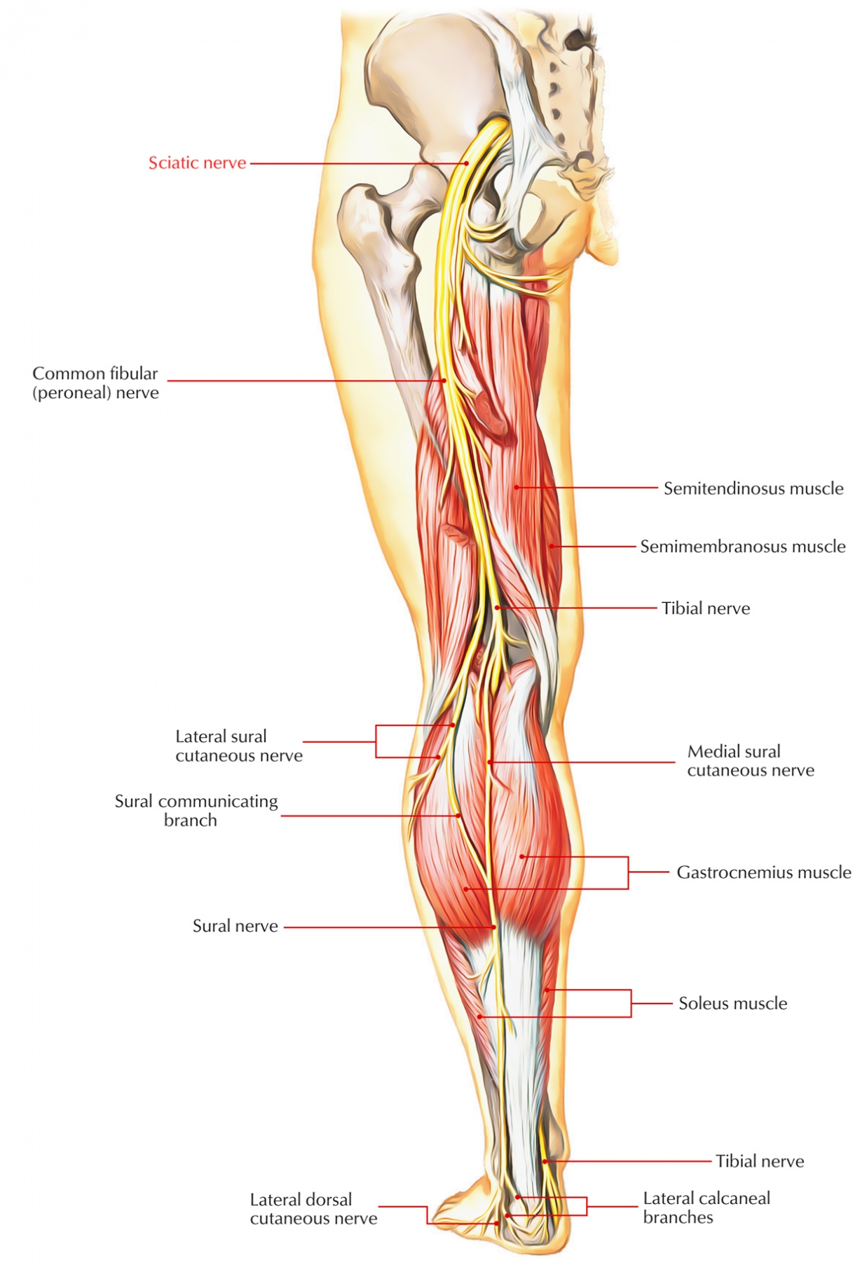 sciatic nerve anatomy Kleoachfix - diagram of sciatic nerve